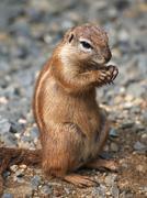 Cape ground squirrel - stock photo
