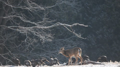 White-tailed Deer and Wild Turkey feeding in winter Stock Footage