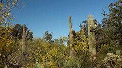Giant Saguaro ( Carnegiea gigantea) at Papago park. Arizona, USA. Stock Footage