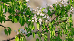 Sunlit pear white blossom with orange stamens and new green leaves - stock footage