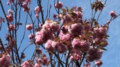 Pink blooming Kwanzan Cherry Tree (Prunus serrulata). Stock Footage