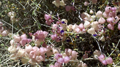 "Flower and ""bladders"" of the Paperbag bush (Salazaria mexicana). Stock Footage"