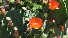 Blooming Purple prickly pear (Opuntia macrocentra) & bees. Stock Footage