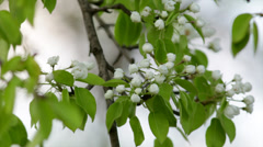 A pear white blossom trusses and new green leaves Stock Footage