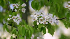 A pear white blossom trusses with red stamens and new green leaves - stock footage