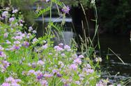Coronilla varia wildflowers Stock Photos