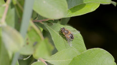 Dronefly on a leaf Stock Footage
