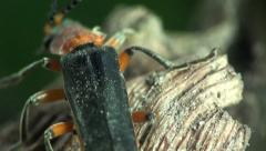 Insect Soldier Beetle macro Stock Footage