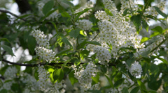 Sunlit bird cherry white blossom trusses and new green leaves Stock Footage