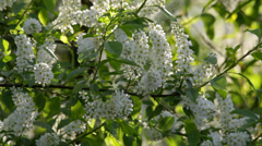 Bird cherry white blossom trusses and new green leaves Stock Footage