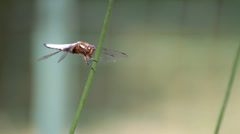 Dragonfly (Broad-bodied Chaser) Stock Footage
