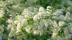 Sunlit bird cherry blossom with white petals and yellow stamens Stock Footage