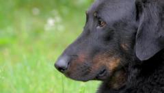 Dog close up ( French shepherd ) Stock Footage