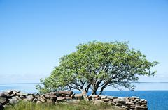 Single tree by a stonewall at coast with calm water Stock Photos