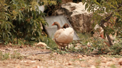 Geese in the farm Stock Footage
