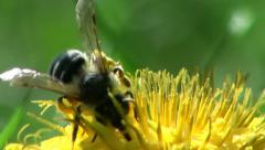Bee insect macro flower Stock Footage