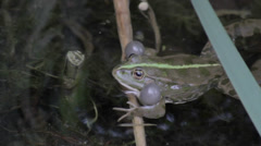 Frog croaking - audio Stock Footage