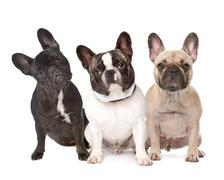 Three French Bulldogs in a row Stock Photos