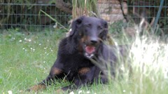 Big dog ( beauceron ) Stock Footage