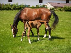 Foal with mare - stock photo