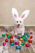 Easter bunny dog looking at chocolate eggs Stock Photos