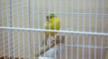 Yellow canary bird in the cage Footage