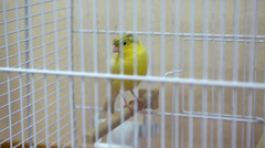 Yellow canary bird in the cage Stock Footage