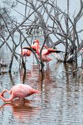 flamingos have arrived to the island of isabella, galapagos archipelago, ecua - stock photo