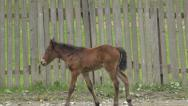 Stock Video Footage of Foal, Colt, Horse Baby Walking by an Wooden Fence in Countryside, Rural View