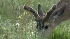 Mule Deer Grazing Stock Footage