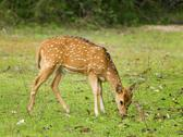 Stock Photo of Indian spotted deer - Axis axis