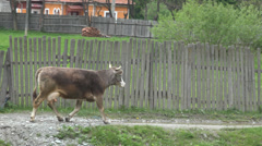 Trekking Cow Running on Rustic Path Village, Countryside, Rural View, Farming Stock Footage