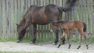 Stock Video Footage of Adult Horse, Baby, Colt, Foal Grazing by a Wooden Fence in Countryside, Farming