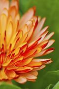 Orange petal flower in spring - stock photo