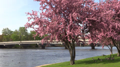 Hopa Crab Trees Blossoming on the Wisconsin River Stock Footage
