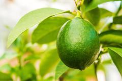 Green lemon hanging on the lemon tree branch. Stock Photos