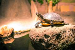 turtle on the rock looking for sun rays. - stock photo