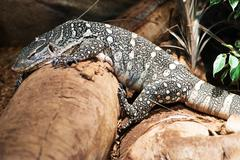 Monitor lizard on the rock. monitor lizard closeup photo. Stock Photos