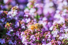 Honey bee between purple flowers. macro honey bee photo. Stock Photos