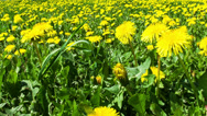 Stock Video Footage of Dandelion field pan