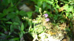 timelapse zoom in of Sensitive plant blooming - stock footage