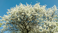 Stock Video Footage of Cherry blossoms tree