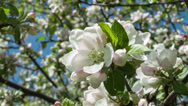 Stock Video Footage of Blooming apple tree