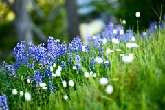 wildflowers northwest - blue lupines meadow. high mountains wildflowers. flow - stock photo