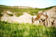 bighorn sheep. south dakota prairies. wildlife photo collection. south dakota - stock photo