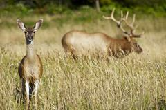 Stock Photo of two elks - northern california redwood forests elks. wildlife photography col