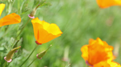 Wind blowing many poppy orange flower in garden - stock footage