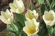 Stock Photo of close-up of white tulips in flower bed. purissima variety