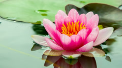 Red lotus. water lily with green leafs on the lake 1 Stock Footage