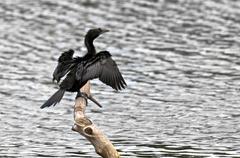 Bird, Little Cormorant, Phalacrocorax niger, basking in sun, per - stock photo